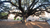 300 Year Old Candler Oak Tree in Savannah, GA.